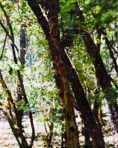 Scan of Madrone Photo by Phil Albers